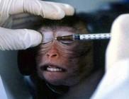 Nem kísérletezgetnek többet csimpánzokon az USA-ban