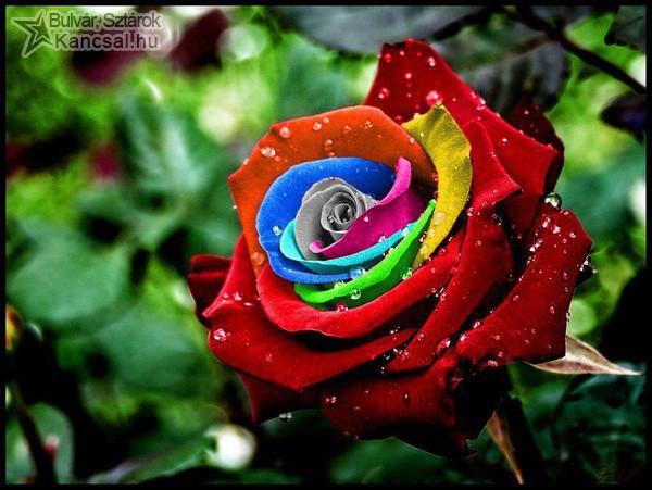 Tarka rózsa
