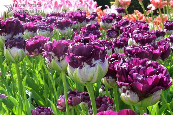 Különleges tulipánok