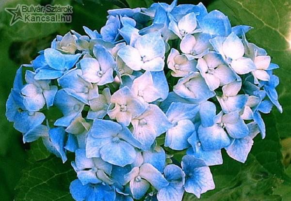 Kék csokor