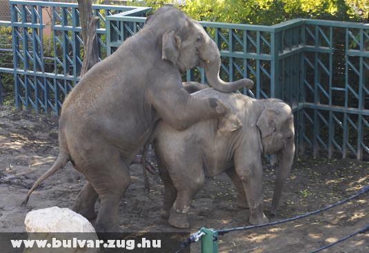 Szexelõ budapesti elefántok