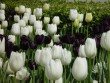 Fekete-fehér tulipánok