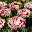 Tarka tulipánok