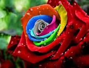 A rózsáról