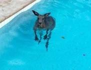 Egy családi ház medencéjébe lógott be egy kicsit hűsölni a kenguru